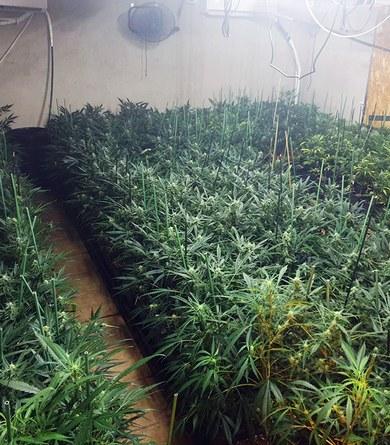 La Policia Local de Viladecavalls confisca 450 plantes de  marihuana